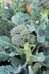 Broccolini, broccoli and broccoli rape all grow here in abundance.