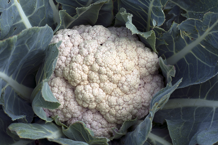 A creamy white cauliflower is a plentiful part of the Fall harvest.