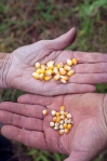 The larger kernels from the cow corn, contrasted with the smaller, more delicate rounder kernels of the granoturco, milled for polenta.