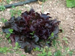 Deep crimson salad lettuce.