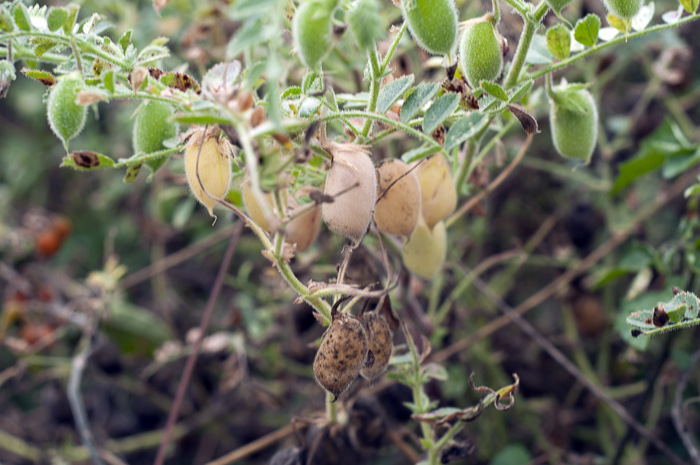 These are green chickpeas in their pods, not yet mature enough to harvest.