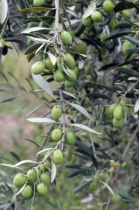 Green olives just prior to harvest, which will be usually small this year due to atypical summer heat.