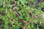 Wild purslane, also known as pigweed, is a tasty addition to salads.