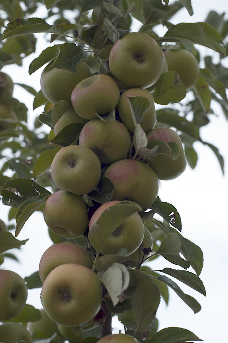 Wild apples grow clustered in columns along tree branches making for a very colorful orchard.