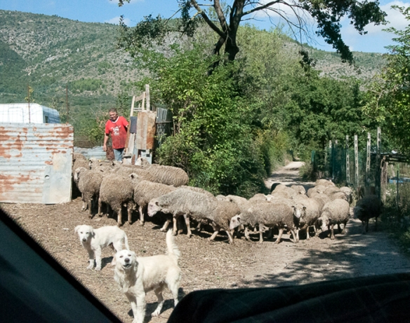 Sheep, Shepherds and Sheepdogs checking out the Vito
